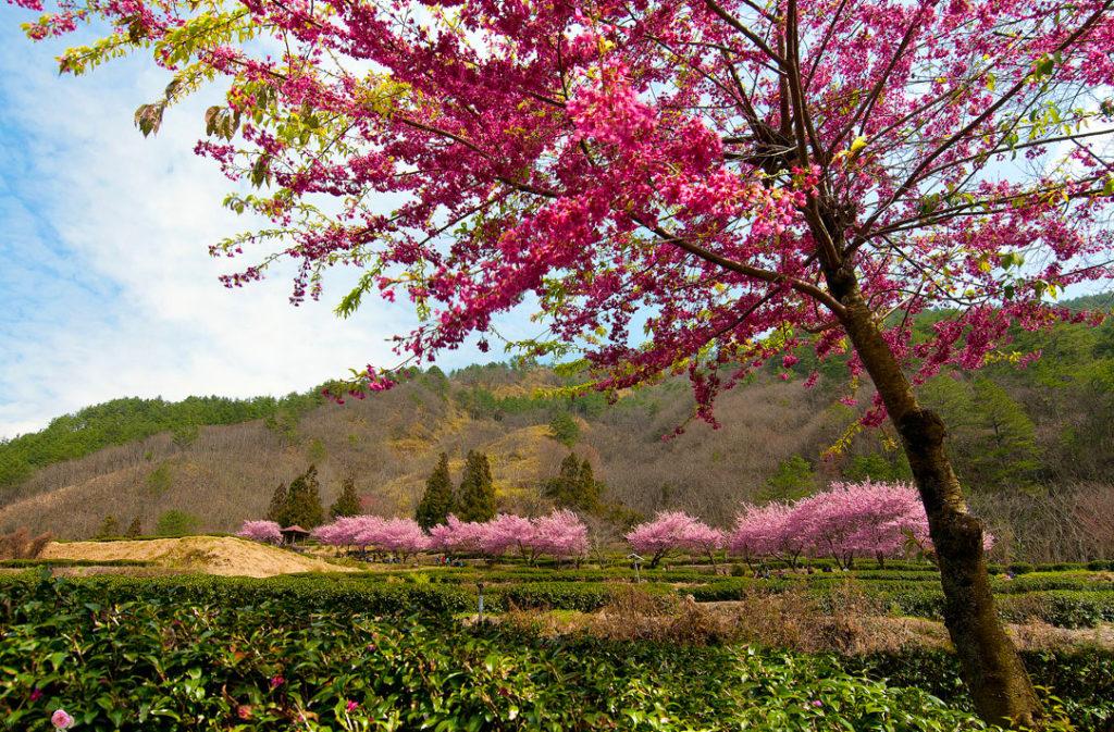 武陵森林遊樂區,武陵農場,櫻花鉤吻鮭