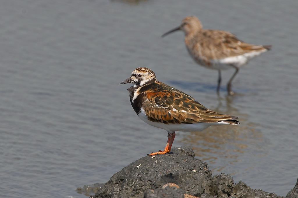 大肚溪口野生動物保護區,水鳥,沙洲